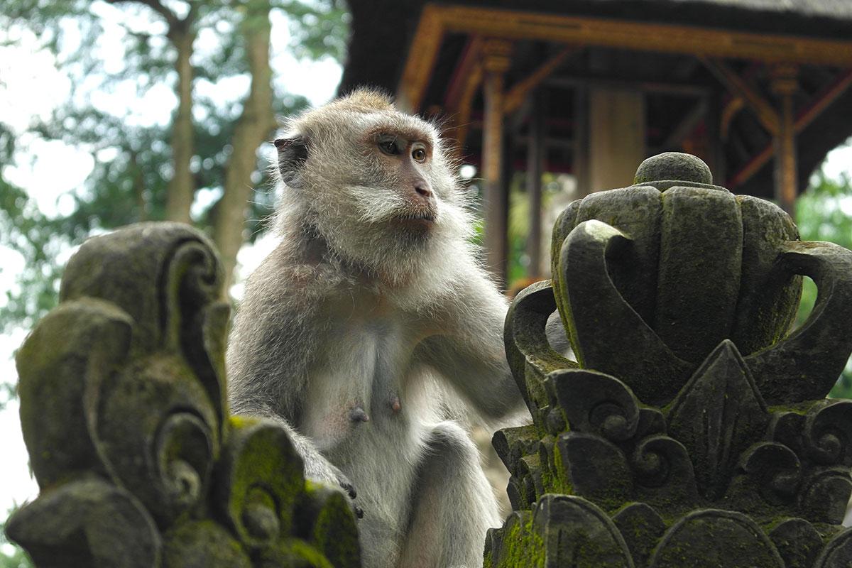 Affe im Affenwald von Ubud / Sacred Monkey Forrest